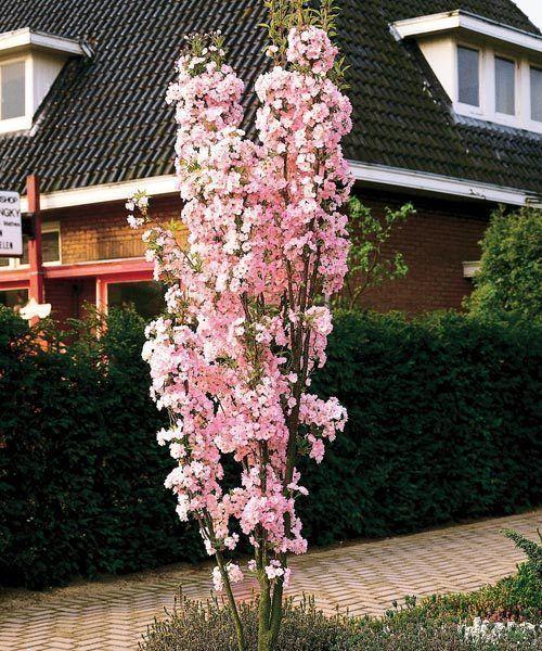 Japanese Flowering Cherry P Serrulata Amanogawa 5 6ft Potted In 7 5l Pots Pink Flowering Trees Flowering Cherry Tree Prunus Serrulata