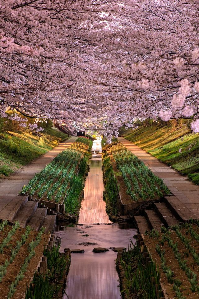 Wisteria flower tunnel in japan wallpaper 640x960 belas Wisteria flower tunnel path in japan