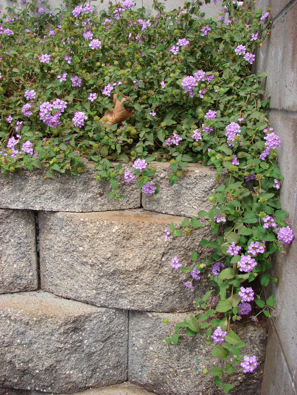 Flowers Trailing Lantana