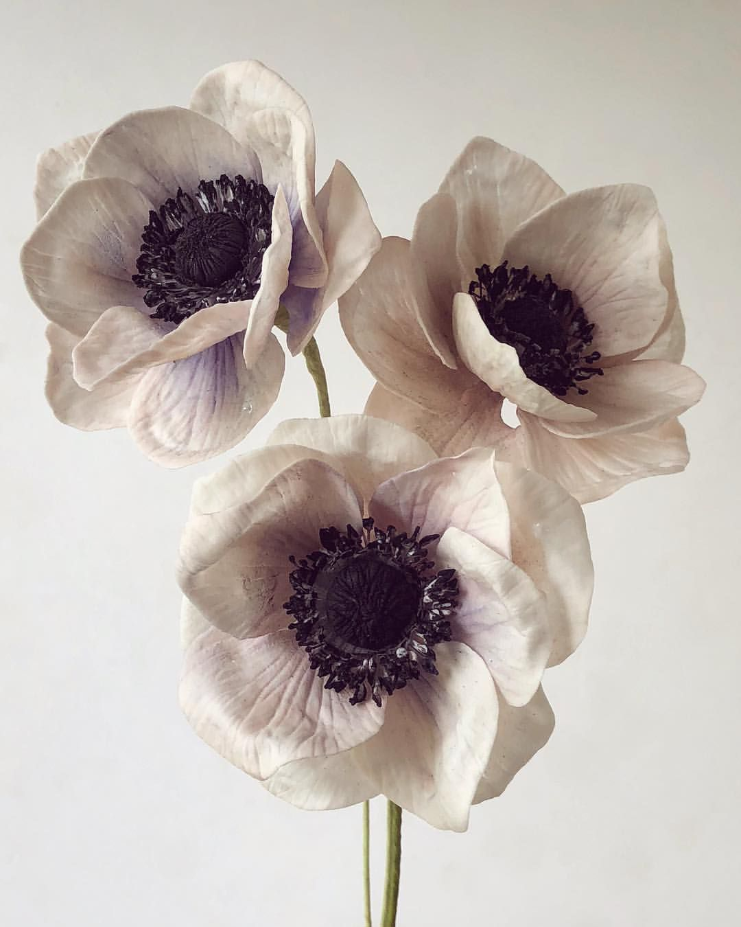 Sugar Anemones Black And White Flower Simplicity On This First Day Of June Because Of The Closing Of The Anemo With Images White Flowers Beautiful Flowers Flower Meanings