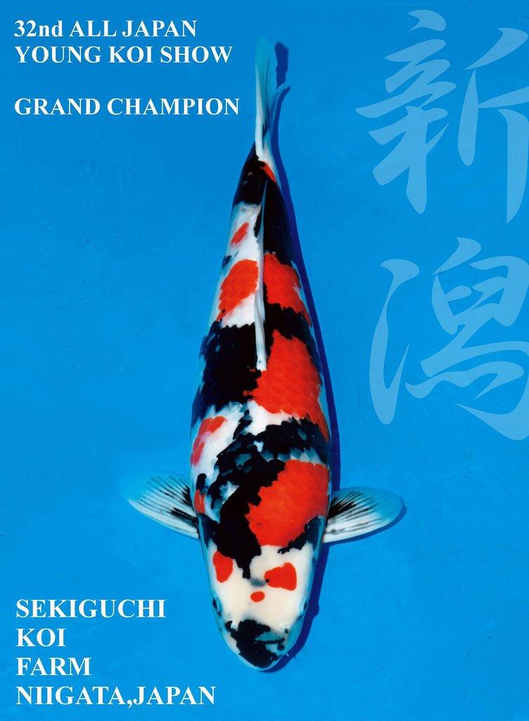 32nd All Japan Young Koi Show Grand Champion Ikan