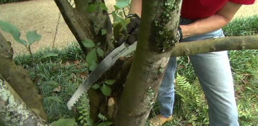 When trimming the trees in your yard, use pruning shears to remove smaller branches, and a pruning saw or chain saw for large limbs.