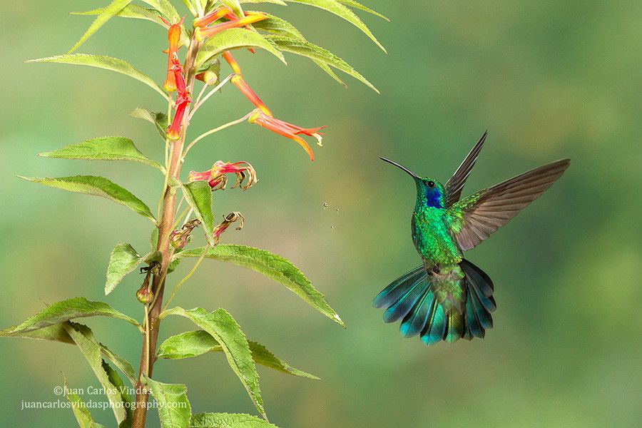 Green Violet-ear and falling nectar by Juan Carlos Vindas on 500px