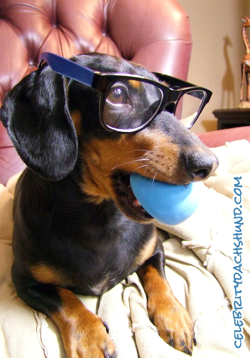 Bold Black Frames And Colored Arms Are What S Hot Right Now Crusoe The Celebrity Dachshund Dachshund Dachshund Love