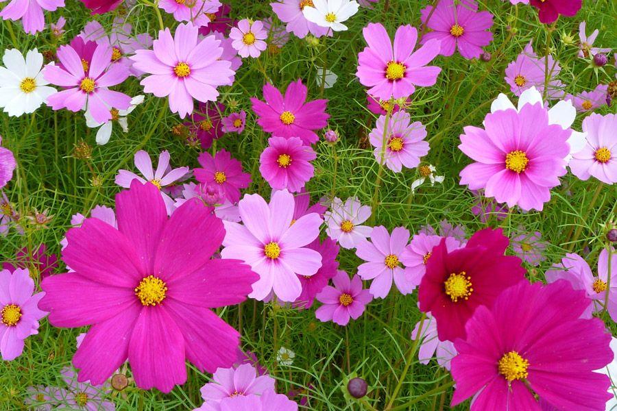 フリー写真 一面に咲いたコスモスの花 シルバーウィーク コスモス 色 秋 花