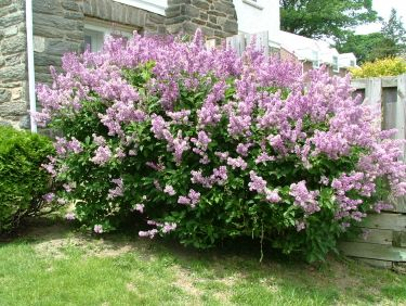 Best Shrubs And Bushes For Southeastern PA, Top Performers In Philadelphia,  Delaware County,