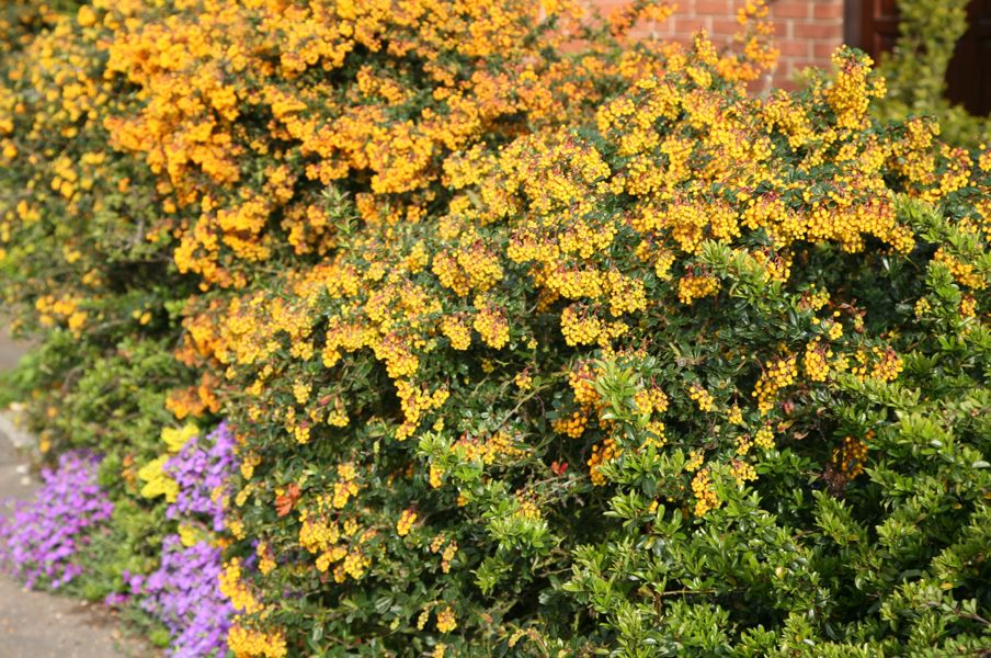 Berberis Darwinii Darwin S Barberry Rhs 75 Key Plants