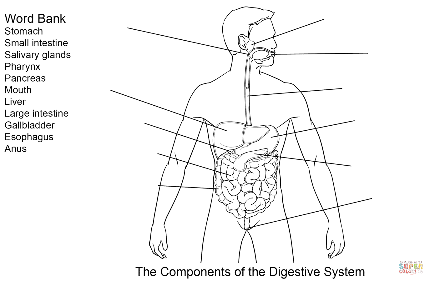 Components of Digestive System Worksheet Coloring page   Free Printable  Coloring Pages   Digestive system diagram [ 899 x 1375 Pixel ]