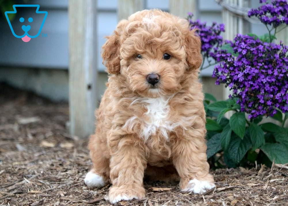 Allison Toy Puppies For Sale Goldendoodle Puppy For Sale Toy Puppies