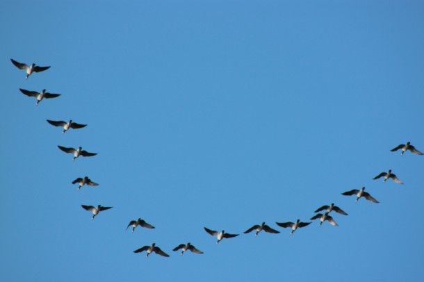 Valkoposkihanhien muutto | Suomen Luonto. Gooses are leaving... Finland