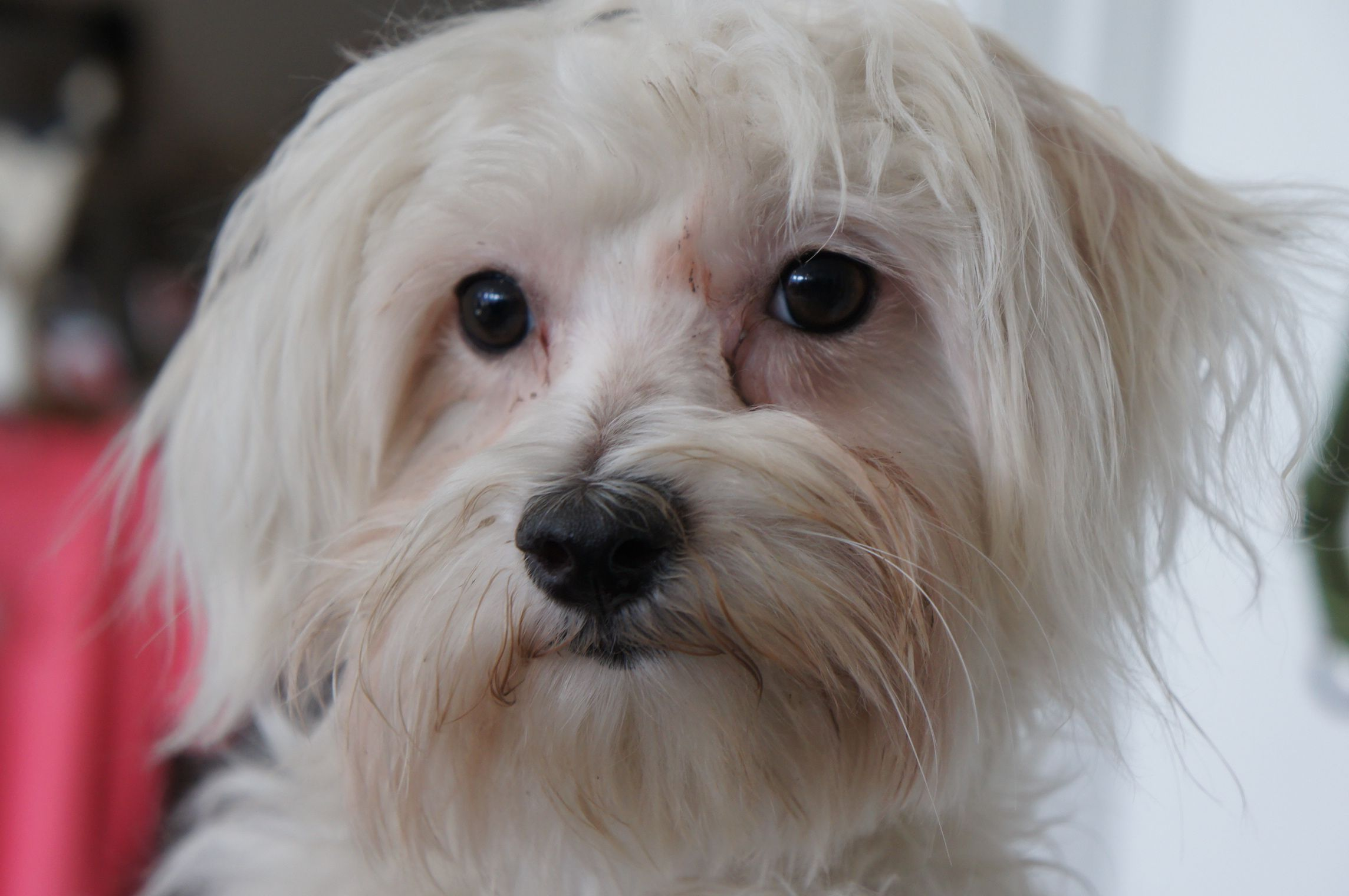 Louise Maltese Mix (1 Year Old) Rescue dogs, Dog love