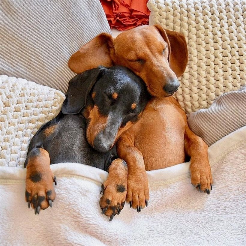 I Can T Handle All Of This Weenie Love Dachshund Funny Animal
