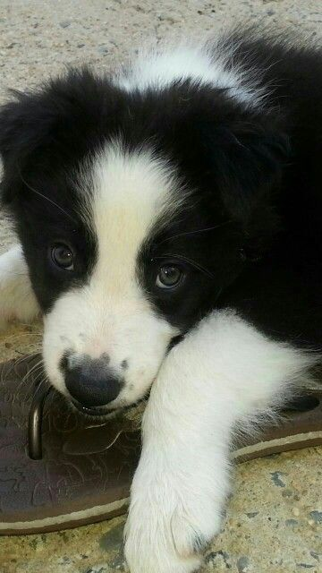 Border Collie Puppy Our Lovely Fur Kids Collie Puppies Collie
