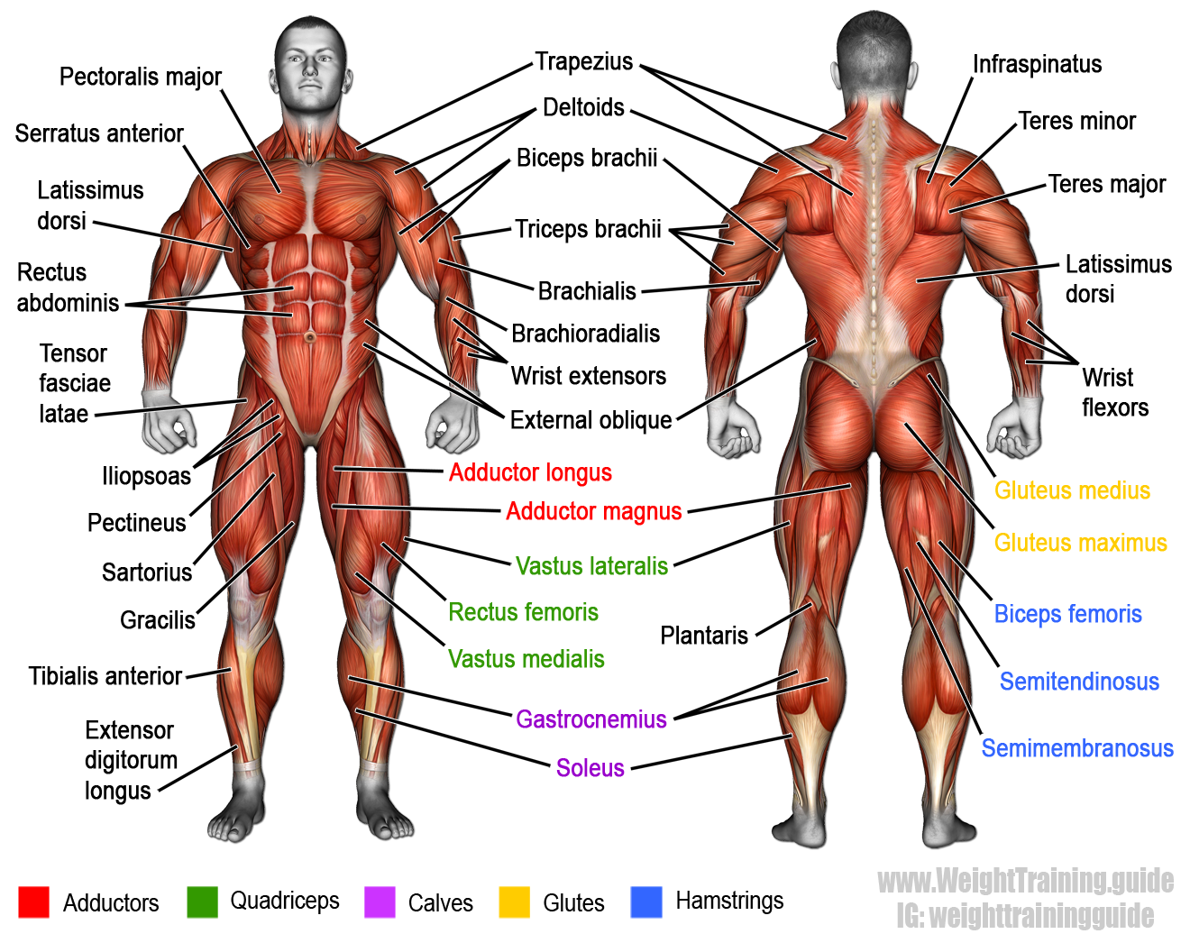 the muscular system, illustrating most of the anterior and, Muscles