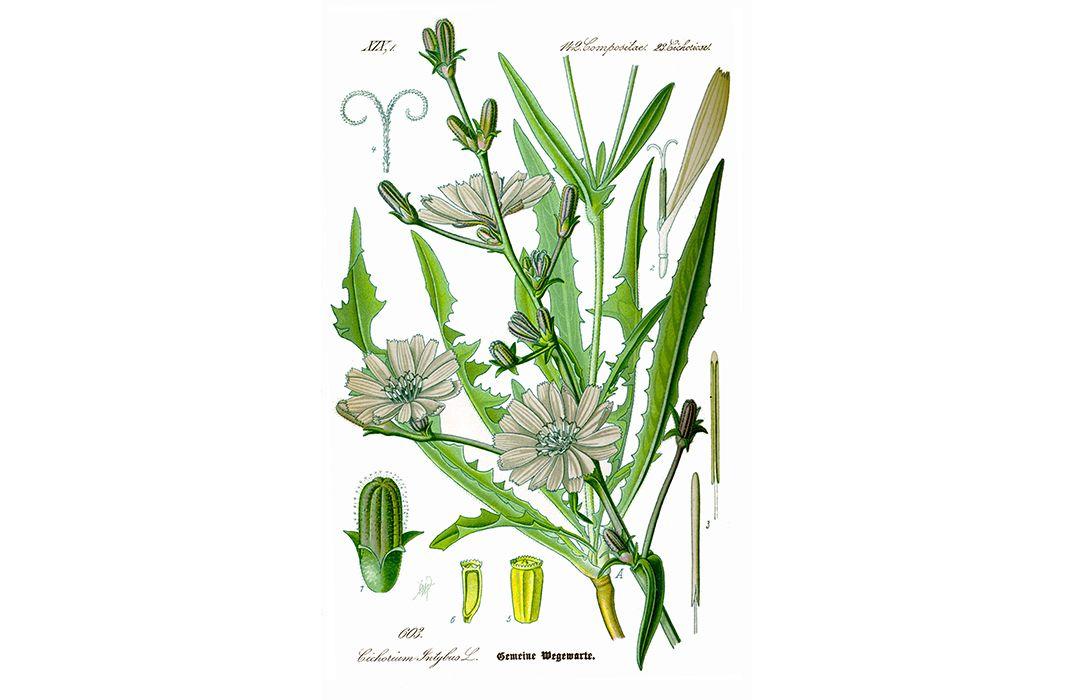 Common chicory (Prof. Dr. Otto Wilhelm Thomé Flora von Deutschland, Österreich und der Schweiz 1885, Gera, Germany via Wikimedia Commons)