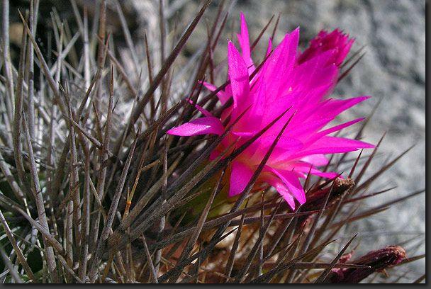 Colorful cactus flower, La Campana National Park, Atacama Desert