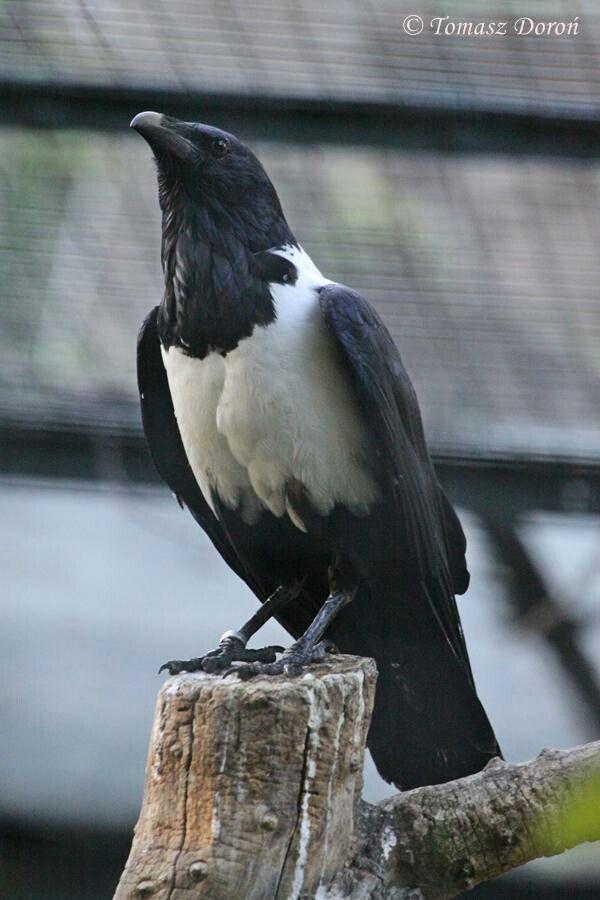Cuervo Blanco Corvus Albus Es Un Ave De La Familia Corvidae