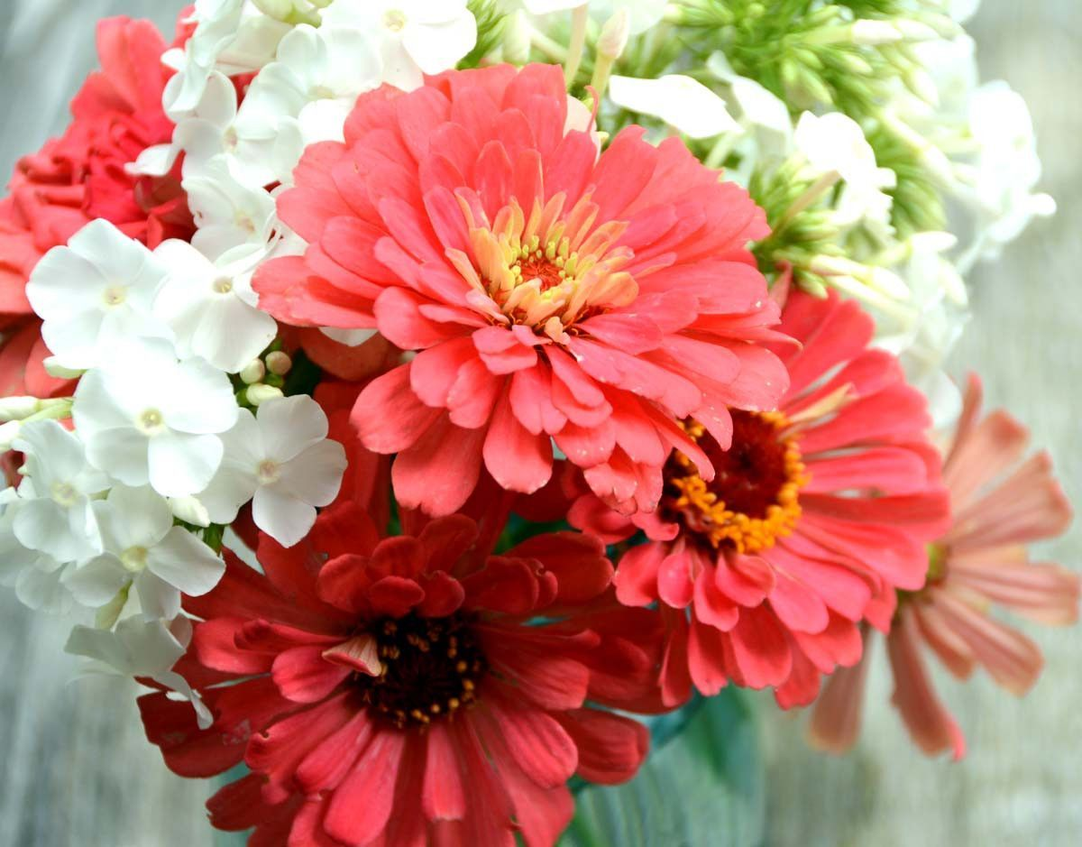 Coral Zinnia Large Dahlia Zinnia Great For Butterfly Gardens and Cut ...