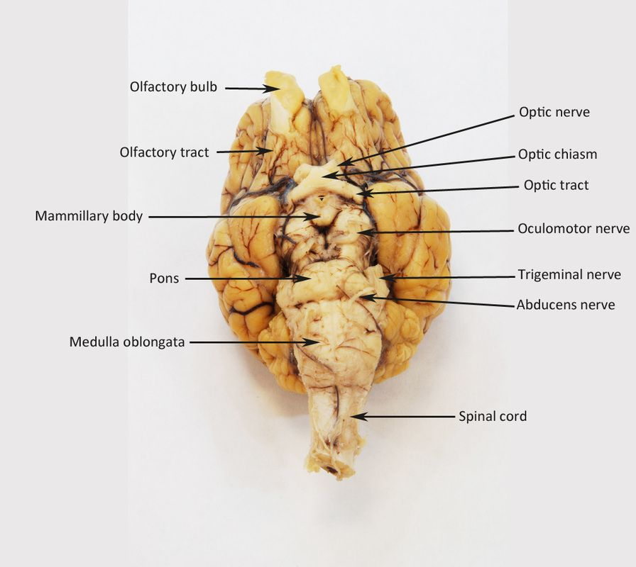 Sheep Brain Human Anatomy Web Site Lab Final In 2018 Pinterest