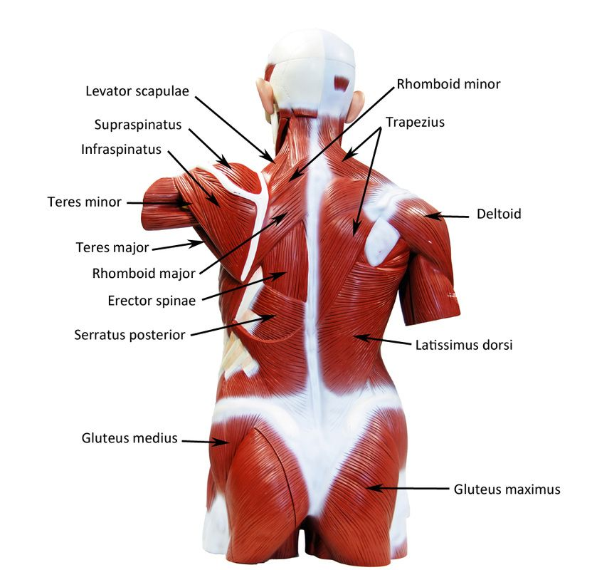 Image result for torso muscle model | Anatomy Physiology | Pinterest ...