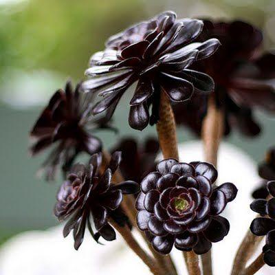 Image result for Black Succulents
