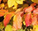 Perzisch IJzerhout, Parrotia persica 'Vanessa' kopen vanaf €54,00 | Ten Hoven Boomkwekers Apeldoorn