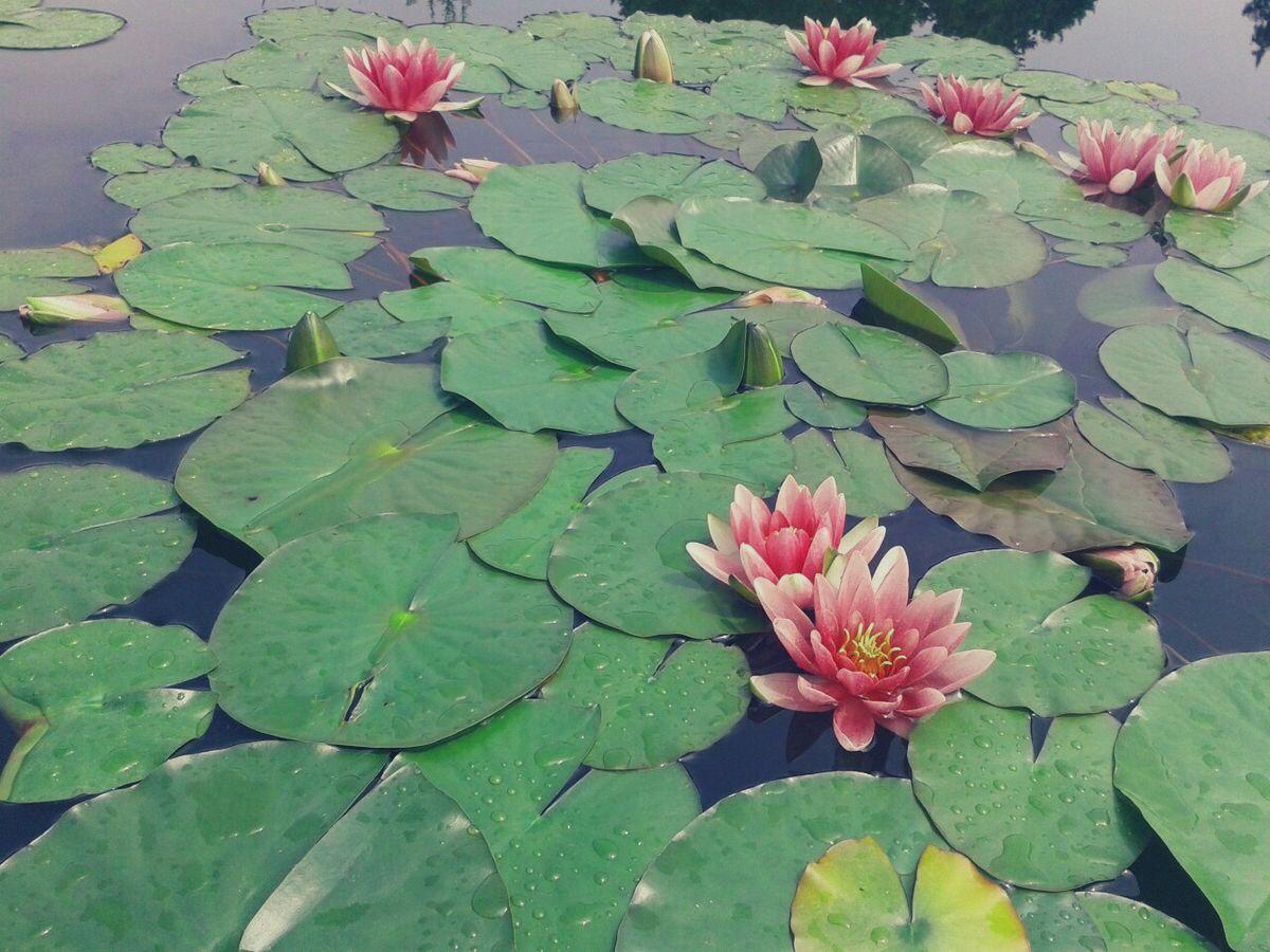 Lotus aesthetic water nature green pink aesthetics afffffffffffff lotus aesthetic water nature green pink nature aesthetic flower aesthetic the iron bull izmirmasajfo