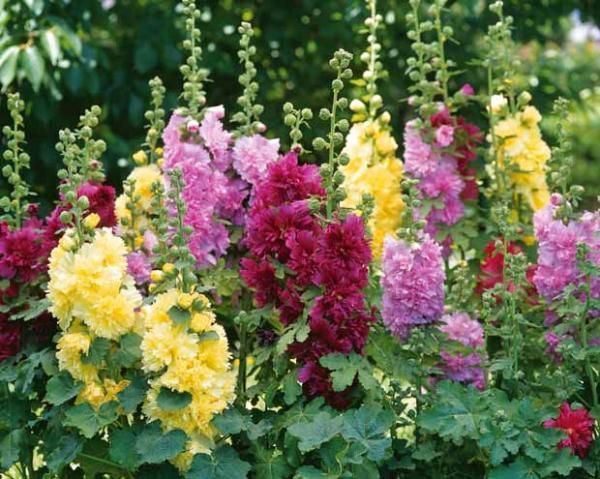 rose tr mi re naine jaune favourite flowers pinterest nain jaune nains et plante vivace. Black Bedroom Furniture Sets. Home Design Ideas