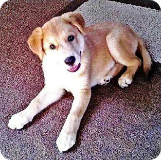 Whitehouse Station, NJ - Golden Retriever/Labrador Retriever Mix. Meet Cami, a puppy for adoption. http://www.adoptapet.com/pet/11195343-whitehouse-station-new-jersey-golden-retriever-mix