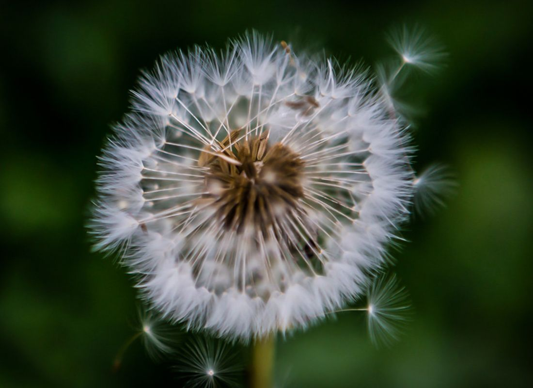 Dandelion Symbolizes A Messenger In Iranian Culture Are You Expecting Any Good News Do Let Us Know If You Would Like To Share With U Dandelion Plants Flowers