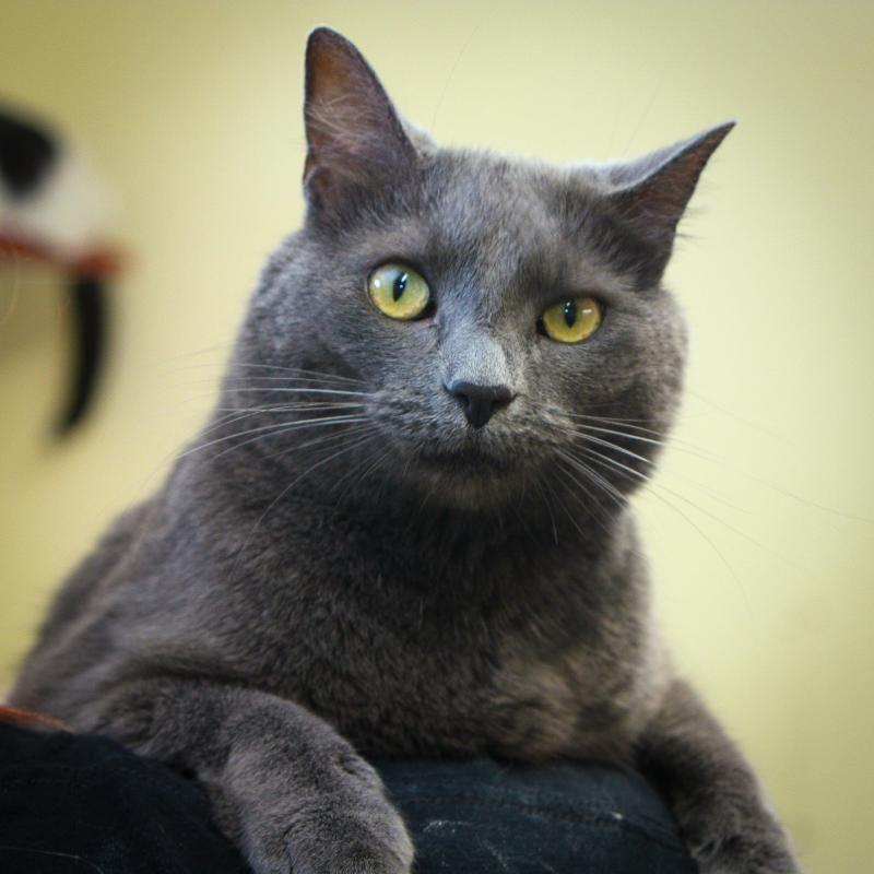 Adopt Davida On Pretty Cats Russian Blue Short Hair Cats