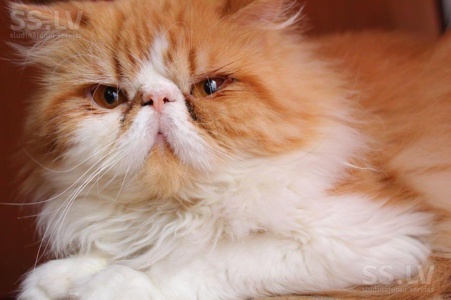 Кошки, котята Персидская, цена 30 €, Фото   Котята, Кошки ...