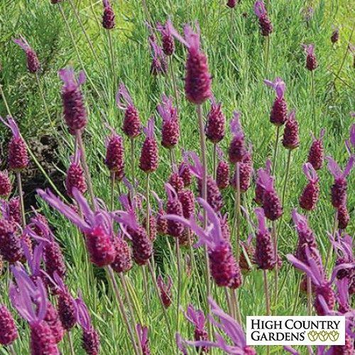 Purple Lavandula stoechas Purple Ribbon, Lavandula stoechas Purple Ribbon, Purple Ribbon Spanish Lavender