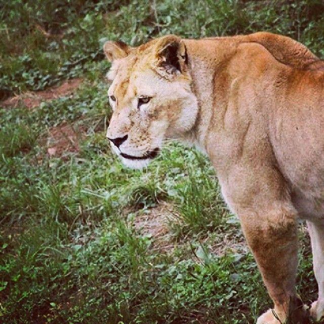 #parquenatural #cabarceno #leona #lindogatito #amazing