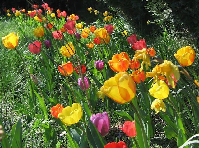 Sådan skal mine tulipaner da stå. Det ser super flot ud med alle farverne sammen.