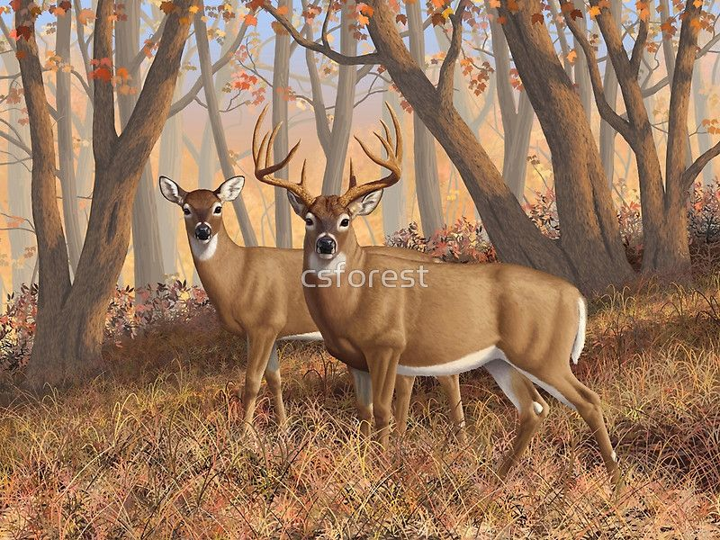 Whitetail Deer Monster Buck And Doe Painting By Csforest Art