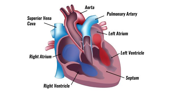 Heart septum anatomy | Anatomy note world | Pinterest | Septum ...