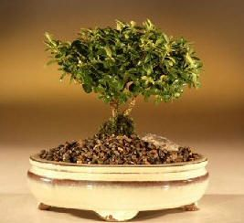 Beginner Bonsai trees - easy trees and plants to grow