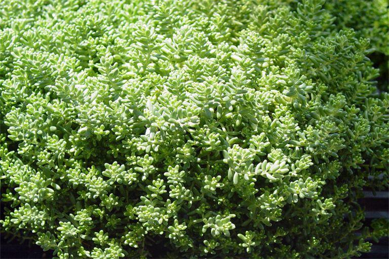 SmartScape Plant Details Stonecrop Texas landscaping