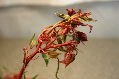 Rose Rosette Disease - it's incurable, and it is affecting Knockout Roses. Learn how to identify it, and how to dispose of your roses as soon as you discover it.