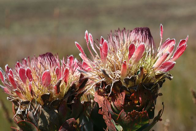 Protea Country South Africa Africa King Protea