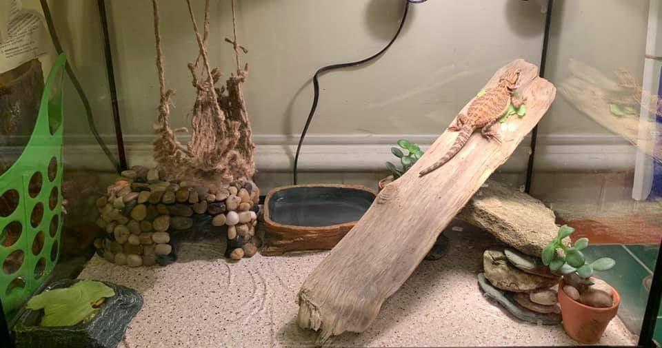 The Pet Enthusiast in 2020 Bearded dragon enclosure