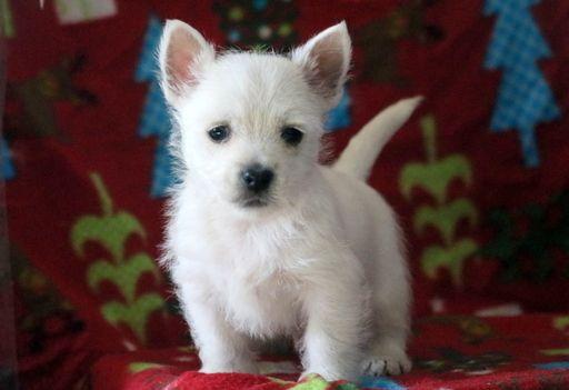 West Highland White Terrier Puppy For Sale In Mount Joy Pa Adn 53980 On Puppyfinder Com Gen Westie Puppies For Sale West Highland White Terrier White Terrier