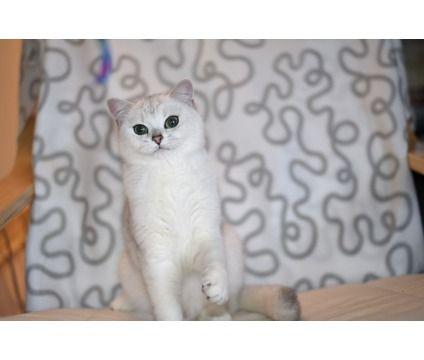 British Shorthair Chinchilla Kitten For Sale Is A Female British Shorthair Young For Sale In New York Ny Kitten For Sale American Shorthair Cat Kittens
