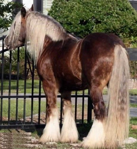 Chestnut Shire Horse