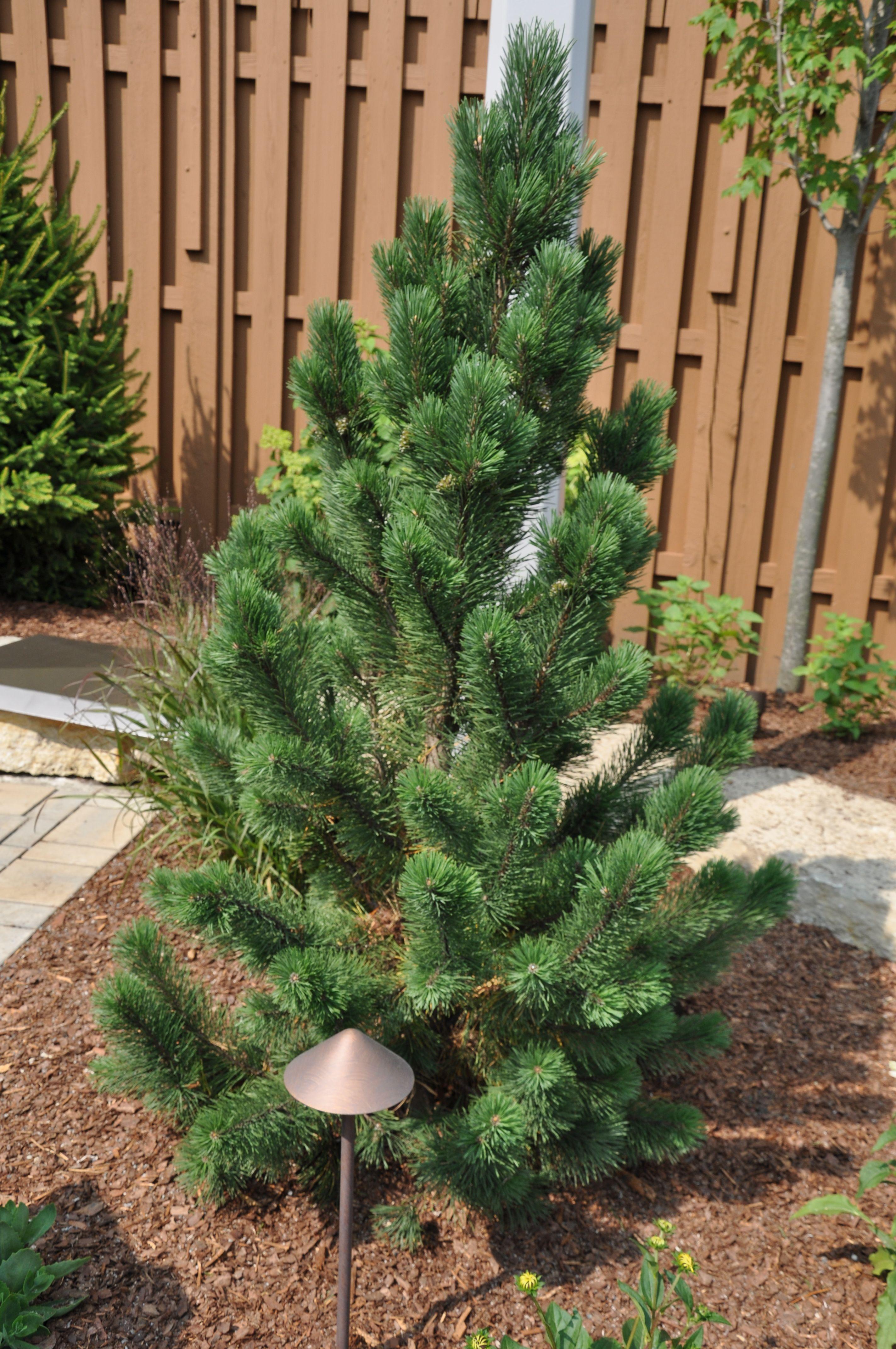 tannenbaum mugo pine Google Search Plants, Mugo pine
