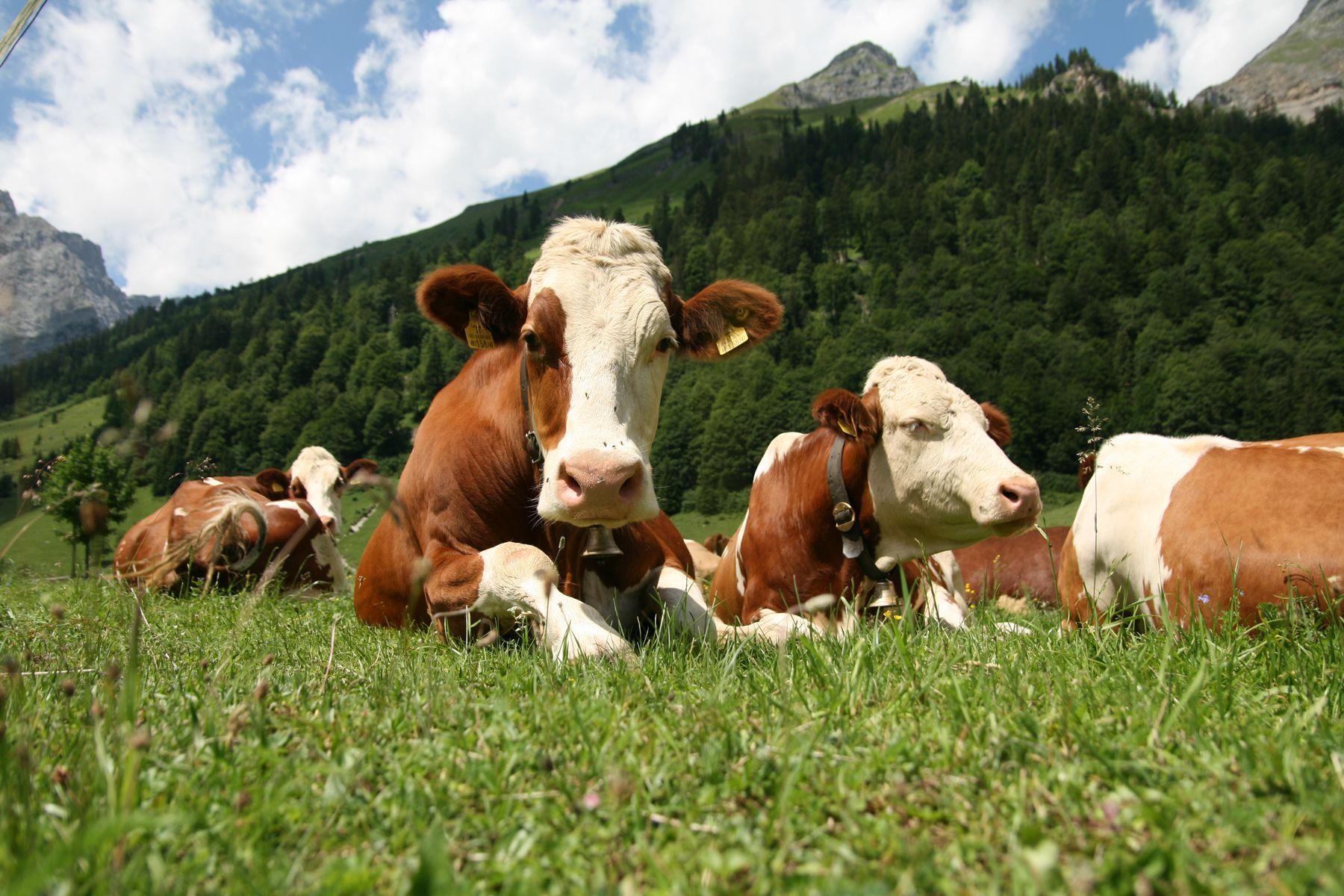 Farm Landscapes Landscapes Nature Cow Cows Animal Farm Animals Zoo Funny Hd Wallpaper Cute Cows Farm Animals Animals