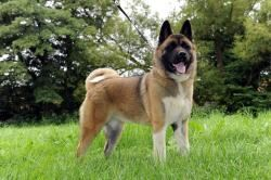 Click Visit Site And Check Out Best Akita Dog T Shirts Hoodies This Website Is Excellent Tip You Can Type Your First Nam Akita Dog Akita Akita Puppies