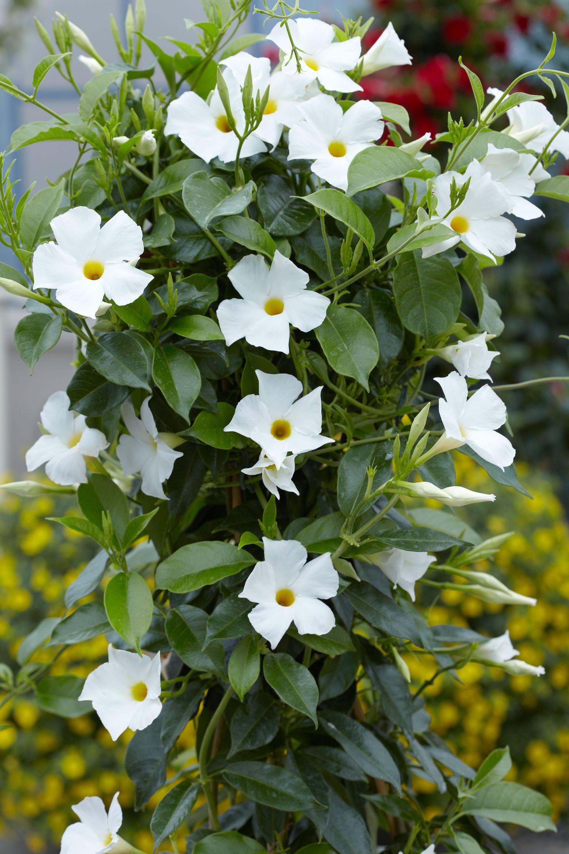 Kartinki Po Zaprosu Mandevilla Sun Parasol Flowering Vines Plants