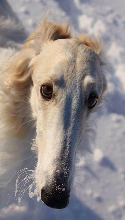 Borzoi S Muzzle Covered With Snow Animals Dogs Borzoi